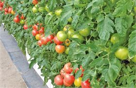 増田式栽培方法による低段密植栽培(トマト)